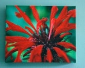 Vibrant Color Red Bee Balm Flower Macro Photograph CanvasPrint Gallery Wrap