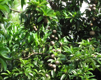 Fresh Sapodilla Fruit 10 LB Box Manilkara zapota Malay Super Sweet! Fresh Fruit Delivered to your door!
