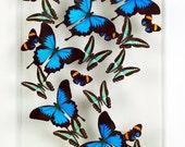 12 x 18 Ulysses (large Black-Blue)  Milon (Teal) and Aegina