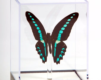"""4 3/4"""" tall Table Display with Milon Butterfly."""