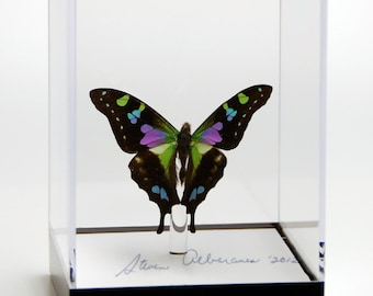"4 3/4"" tall Table Display with Weiski Butterfly."