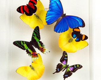 "8"" x 10"" Exotic Butterfly Display"