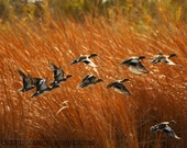 Fine Art Print - Wild Life Duck Print A Must Have For Your Home Or Office.
