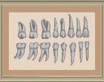 Teeth anatomy: cross-stitch pattern