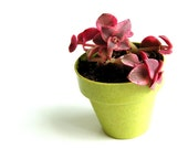 Garden Home Decor Mother's Day Gift -   Rubra Variegated Purple Succulent Plant in Miniature Lime Green Eco Friendly Pot