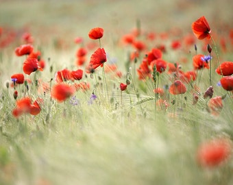 Red Poppy Field. 5x7 inch Fine Art Photography Print.