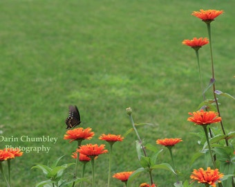 Fine Art Photography - Butterfly, flowers, a beauty.  Oh my.