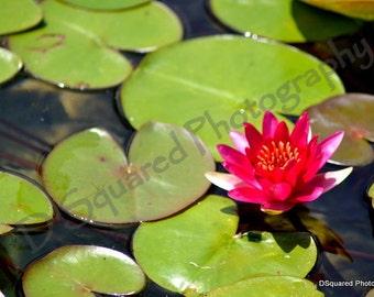Balboa Park Water Lily - San Diego, California