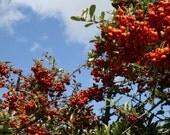 Hokie Berries