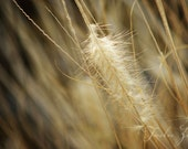 Grass plume, beige, brown, sand, fuzzy, nature, dry, soft - Fine art photography 8x12 print