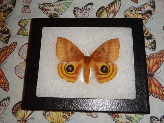 Butterfly Framed IO Moth Owl Eyed Made in US