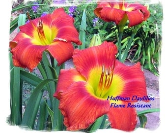 """Daylily, """"Flame Resistant"""" (double fan)"""
