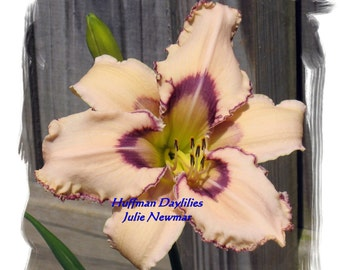 "Daylily, ""Julie Newmar"", double fan, perennial"