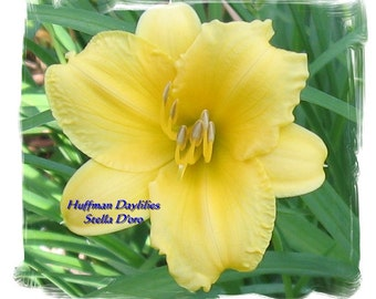 "Daylily, ""Stella D'oro"", 10 fans, perennial"