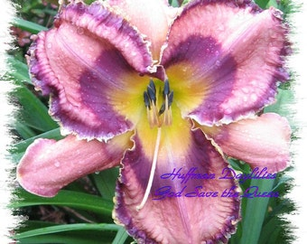"""Live plant, Daylily, """"God Save the Queen"""" (double fan)"""