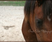 "Chincoteague Pony Portrait Photography - Horse Photography, 8""x10"""
