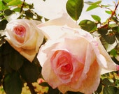 Shabby Chic Roses photo, Fine Art  photography, wall print 8x8