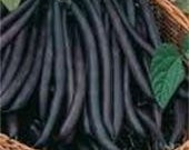 Heirloom, Royal Burgundy Bean Seeds, Stringless, 20 Seeds