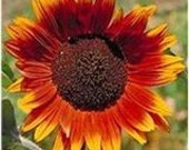 Autumn Beauty, 25 Flower Seeds, Get the Kids Involved, Easy to Grow