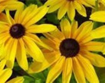 BULK 500 Seeds, Black Eyed Susan, Plant a Field, Give Some as a Gift