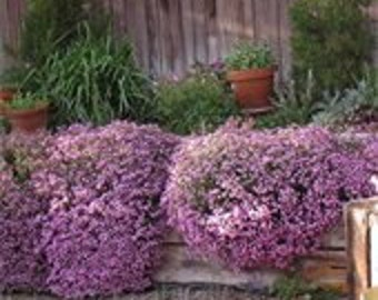Soapwort, Grow and Make Your Own Soap, Pretty Plant, Perennial Flower, 25 Seeds