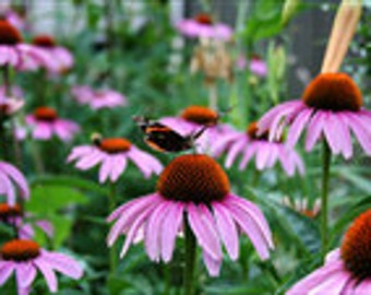 Purple Coneflower, Perennial Flower, Attracts Butterflies, Drought Tolerant, 25 Seeds