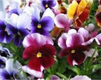 Assorted colors of Pansies, Attract Butterflies, Blooms all Summer, 25 Seeds
