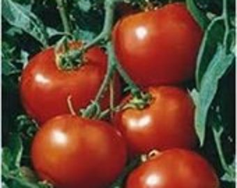 Heirloom, Farm Grown, Rutger Tomato, Seeds, Excellent for Canning, 25 Seeds