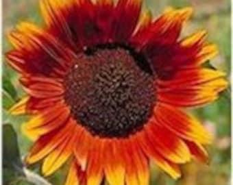 50% off! Sunflower, Autumn Beauty, Flower Seeds, Get the Kids Involved, 25 Seeds