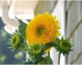 Teddy Bear Sunflower Seeds, A Profusion of Flowers, 20 Seeds