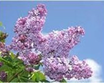 Lilac, French Vulgaris, Flower, 10 Seeds