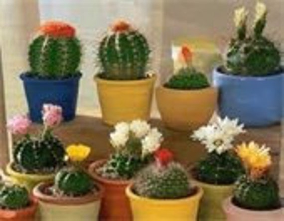 Cactus Blend Seeds, Flowering Plants Requires Little Moisture, 5 Seeds