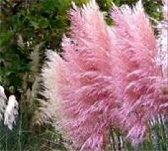 Beautiful Pink Pampas Grass, Add Color to Your Landscape, Perennial Seeds