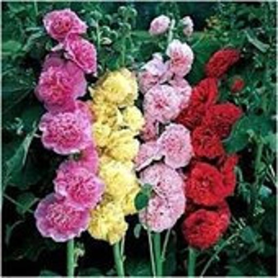 Hollyhock Summer Carnival, Variety of Colors, Perennial Seeds, Attract Hummingbirds, 10 Seeds