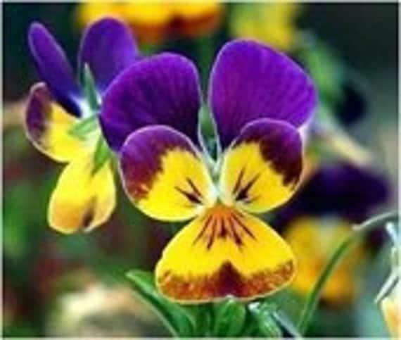 Johnny Jump Up, Helen Mount, Flower Seeds, Attract Butterfies