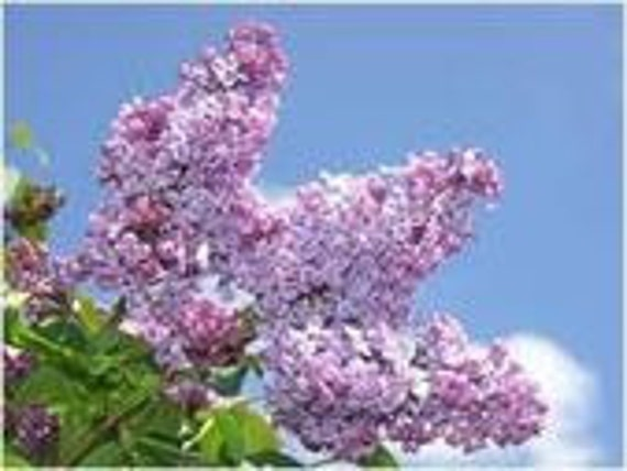 Lilac French Vulgaris, Flower Bush, 10 Seeds