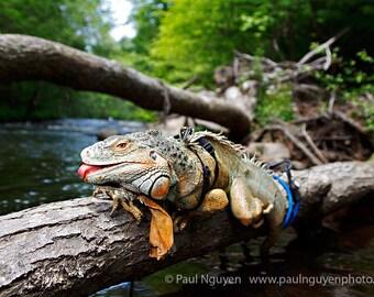 Green Iguana Lizard photograph, 8x12 print matted on black 12x16 mat.  Pet green iguana lizard on log over river, sticking tongue out