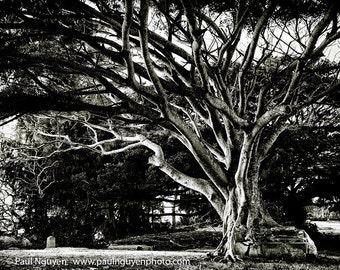 Fig Tree in Graveyard black and white photograph, 8x10 print matted on black 11x14 mat.  Molokai, Hawaii.  Banyan tree grows out of a tomb