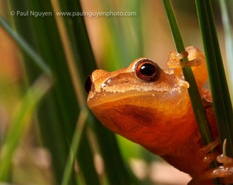 Spring Peeper Frog on Grass photograph, 8x10 print matted on white 11x14 mat. An orange spring peeper frog on green blade of grass