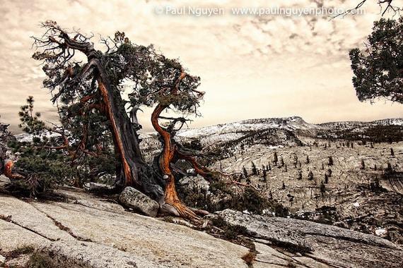 Thunderstruck Juniper Tree photograph, 8x12 print matted on black 12x16 mat.  Yosemite, a red juniper tree split by lightning, on rocks