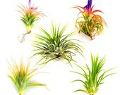 Tillandsia Ionantha Collection of 5 Air Plants - 30 Day Air Plant Guarantee - Beautiful When They Bloom - Great for terrariums FAST SHIPPING