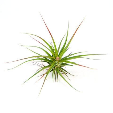 Tillandsia Concolor Air Plants 30 Day Guarantee Air
