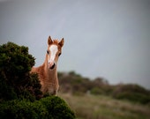 Horse photo, baby animal, fine art photo foal photo, animal photograph, 'wild welsh pony foal' 12x8