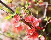 Nature photography, Spring blossoms - 8 x 12 - Fine Art Photo Print