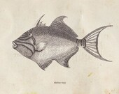 Vintage Fish Print Balistidae Triggerfish