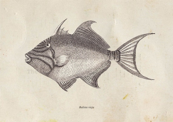 trigger fish coloring pages - photo#33