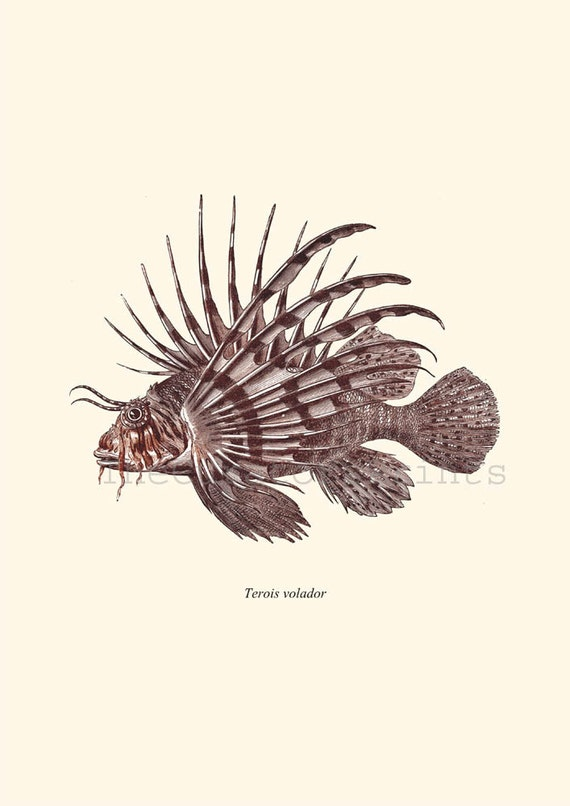 Antique Lionfish Print Pterois 1874 Restored Image Natural History