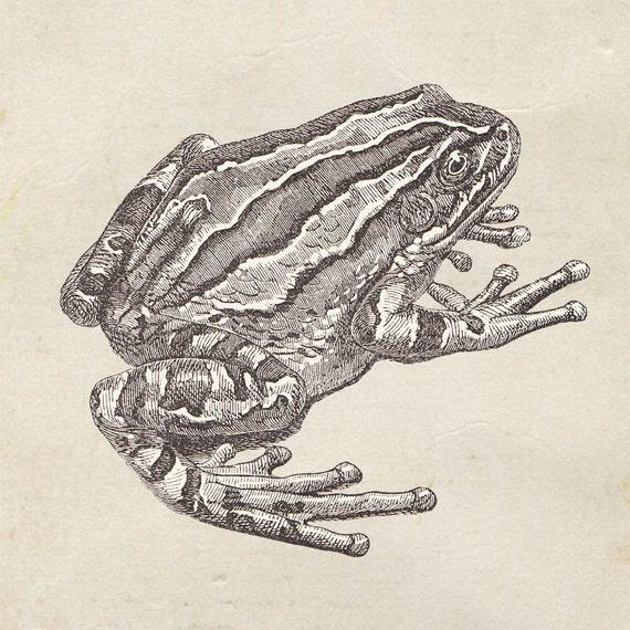 Marsupial Frog Print from a Vintage Drawing Hyla marsupiata Grey