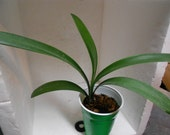 Vicky x Interspecific Clivia Seedling Plant