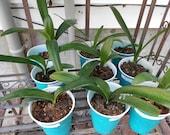 No IDs Clivia seedlings plants